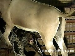 Stallion nicely drills a sexy sheep in the craziest farm animality XXX